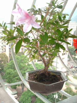 Azalea o Rhododendron
